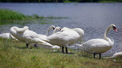 Swans resting at lake on sunny day