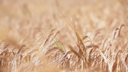 Wheat field at sunny summer day