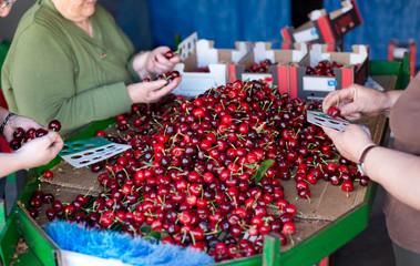 Selecting fresh cherries in Valle del Jerte, Extremadura. Spain.