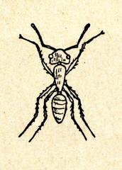 Wingless ant female - worker