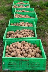Saatkartoffeln, h.