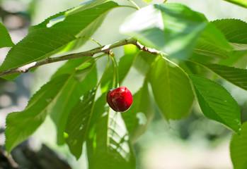 Cherry from Valle del Jerte in Spain.