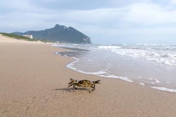 Granchio che cammina verso il mare e Monte Circeo