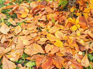 fallen chestnut leaves