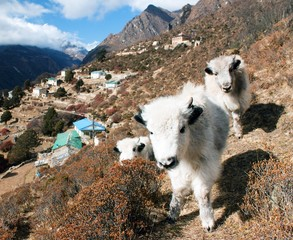 young yaks and Portse village - way to Everest base camp