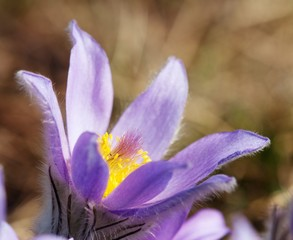 blue and yellow early springy flower of pasqueflower