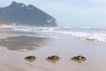 Tre granchi in fila che raggiungono il mare