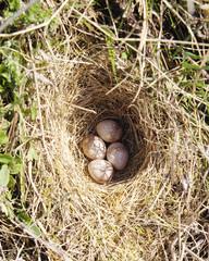 Four woodlark eggs in nest  on ground