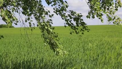 wheat field swaying in the wind. background windwheel rotate
