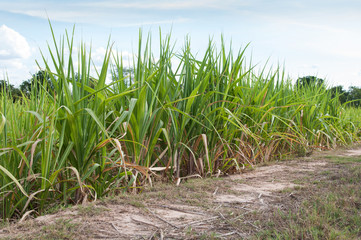 sugarcane plants grow in field blue sky background