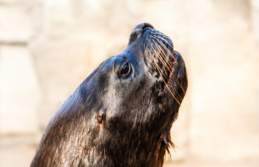 Portrait of the seal