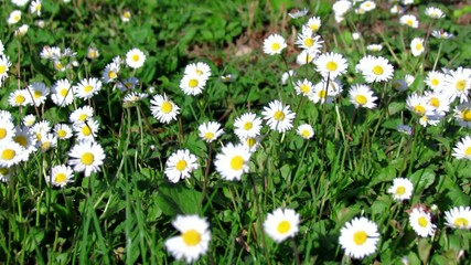 Meadow full of daisies
