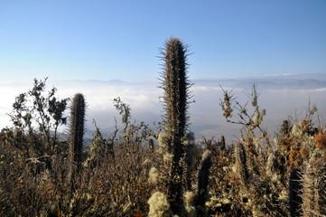 Cactus in the hillsides of Cerro Corazón, La Serena, Chile.