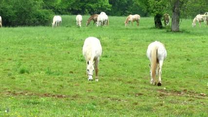 White horses on pastureland