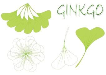 ginkgo biloba illustration