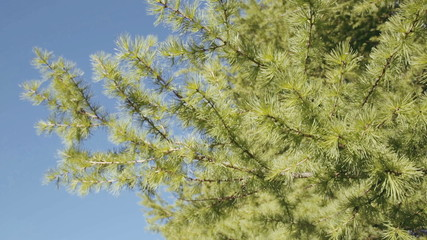 Branches of pine tree swaying in the wind