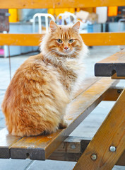 Maine Coon cat sitting on a bench in a cafe