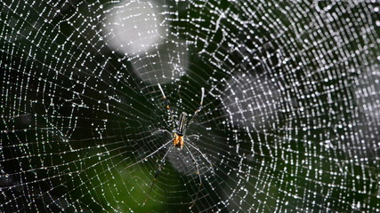Mai Thong spider on web in tropical rain forest.