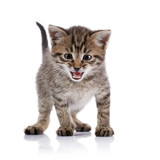 The striped amusing mewing kitten. poster