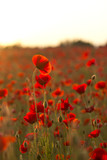 Fototapeta Poppies at Sunset 5