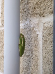 vertical green frog
