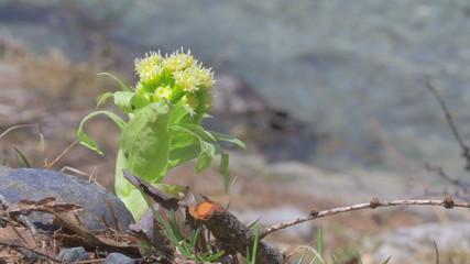 Butterbur sprout in Kamikochi,Nagano,Japan.Filmed in 4K.