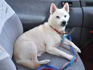 White dog/Japanese black nose white dog