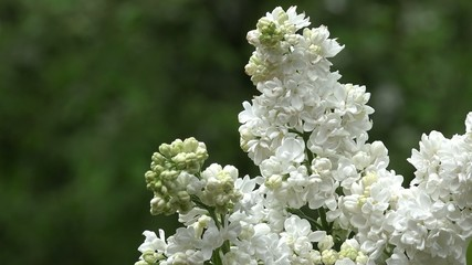 white lilac in nature
