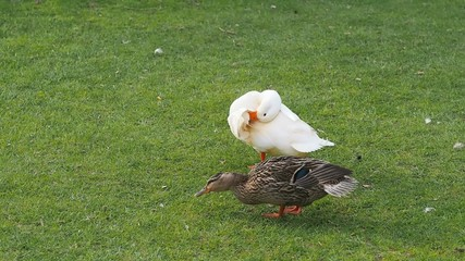 Cute ducks are walking on the grass.