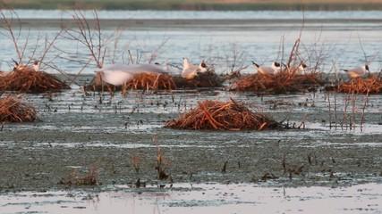 Black-headed gull, during the nesting season (danube delta)