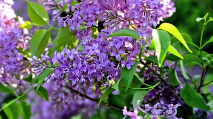 Video blossoming lilacs, spring nature background.