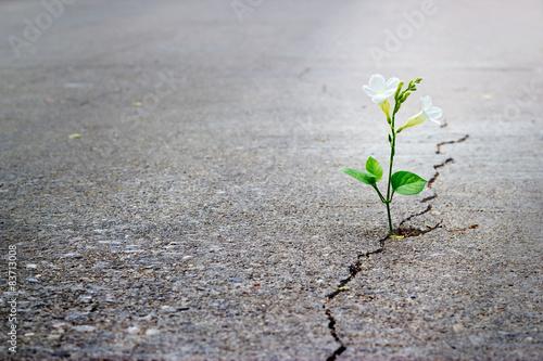 Zdjęcia na płótnie, fototapety, obrazy : white flower growing on crack street, soft focus.