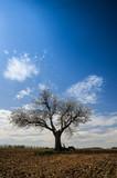 Kirschbaum blüht im Weingarten im Frühling