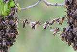 Trust and cooperation of bees to bridge gap of swarm parts.