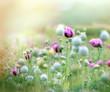 Poppy flowers - poppy fields