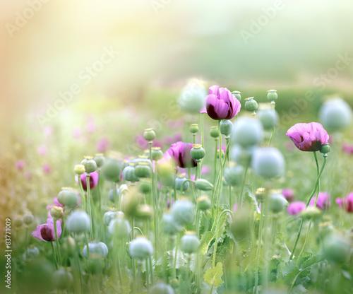 Poppy flowers - poppy fields © lola1960