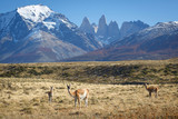 Fototapety Guanaco in National Park Torres del Paine, Patagonia, Chile