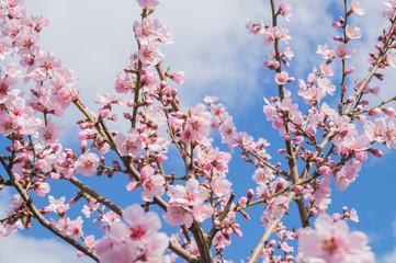 Mandelbaum im Frühling