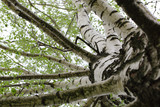 Fototapeta birch