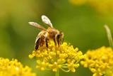 Fototapety Honeybee harvesting pollen from blooming flowers