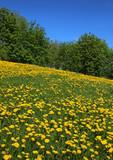 Fototapeta Dandelions blossoming field