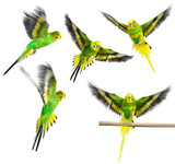 Fototapety Budgerigar. Parrot. Collection.