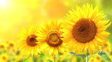 Fototapety Three bright yellow sunflowers