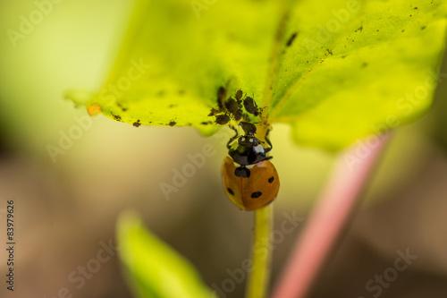 Marienkäfer mit Blattlaus