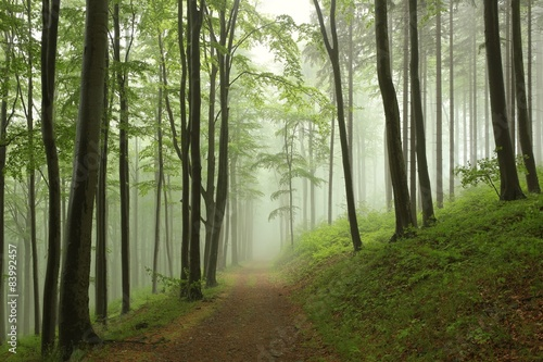 Trail through the beech forest on a foggy, rainy morning