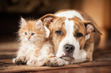 American staffordshire terrier dog with little kitten - 84016419