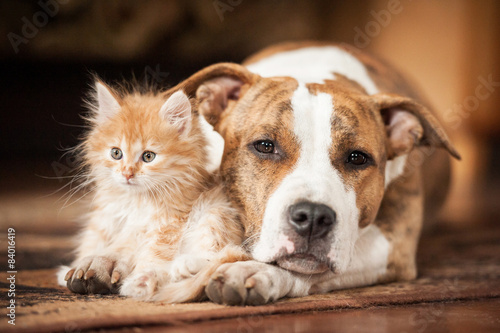 Fotografiet American staffordshire terrier dog with little kitten