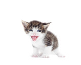 Funny kitten mewing poster