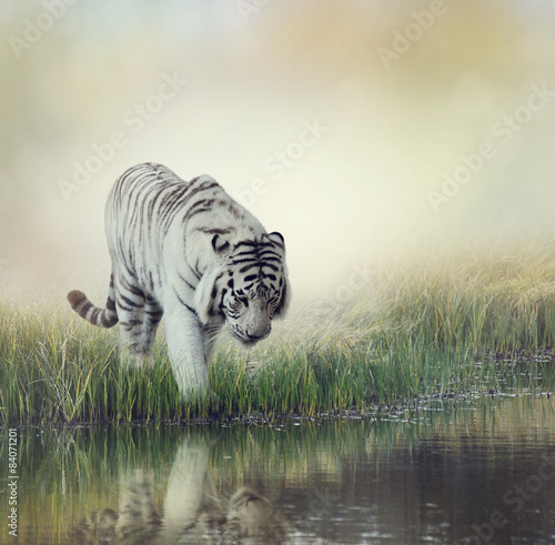 Zdjęcia na płótnie, fototapety na wymiar, obrazy na ścianę : White Tiger