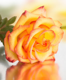 Fotoroleta beautiful rose with yellow petals with a red border lies on a mirror background